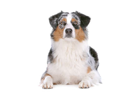 australian shepherd: Australian shepherd in front of a white background Stock Photo
