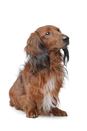 doggie: Dachshund in front of a white background