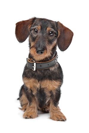 wire haired miniature Dachshund in front of a white background Foto de archivo