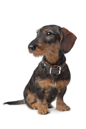 miniature breed: alambre de Dachshund miniatura de pelo delante de un fondo blanco Foto de archivo