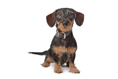 wirehaired: wire haired miniature Dachshund in front of a white background Stock Photo
