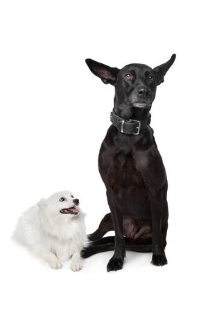 Keeshond  Dutch Barge Dog  and a black Shepherd mix in front of a white background Stock Photo