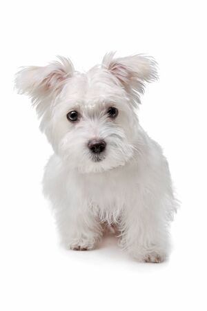 mix Maltese dog in front of a white background photo
