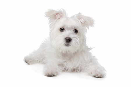 maltese dog: mix Maltese dog in front of a white background Stock Photo