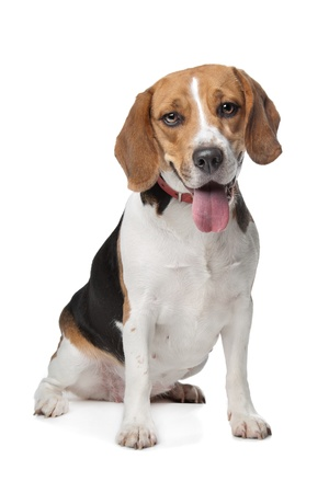 Beagle hound in front of a white background photo