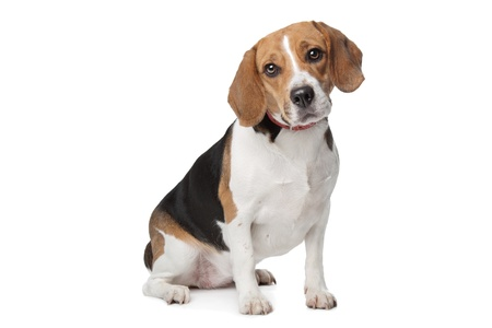 beagle: Beagle hound in front of a white background