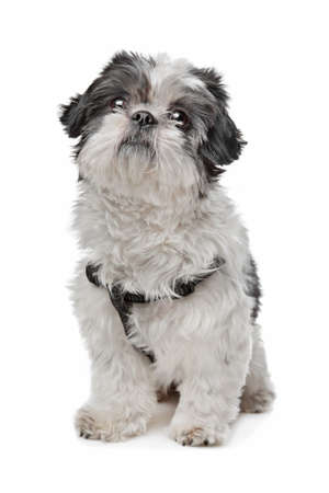 Shih Tzu in front of a white background photo