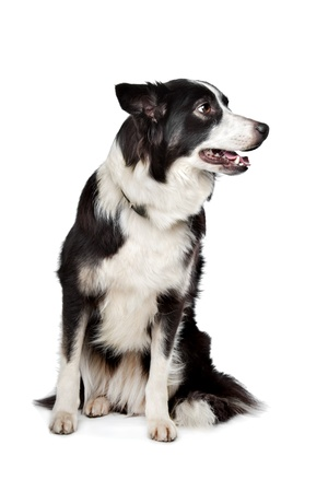 Border Collie in front of a white background photo