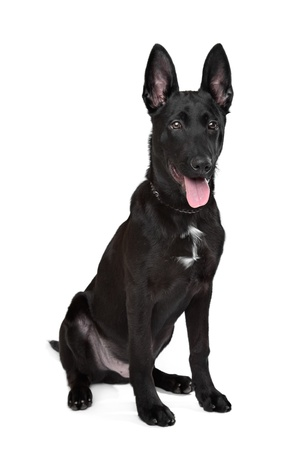 Black German Shepherd puppy in front of a white background Stock Photo - 13254730