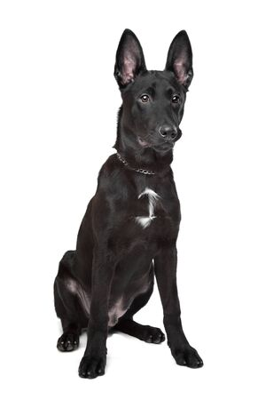 Black German Shepherd puppy in front of a white background photo