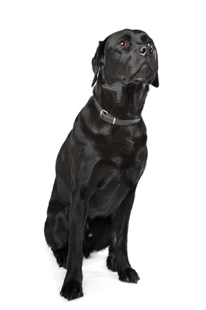 Black Labrador in front of a white background photo