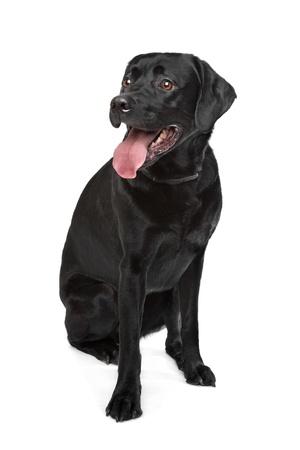 perro labrador: Labrador negro delante de un fondo blanco