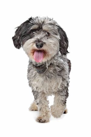 maltese dog: Mixed breed dog (MalteseTerrier) in front of a white background Stock Photo