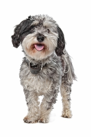 Mixed breed dog (Maltese/Terrier) in front of a white background Stock Photo - 13254814