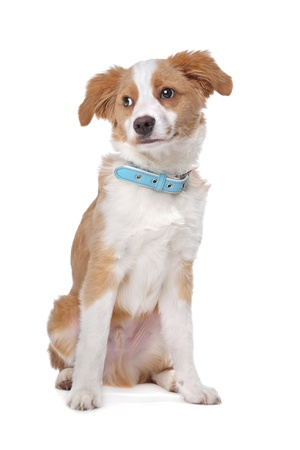 half breed: Mixed breed puppy, half Tibetan Terrier, in front of a white background Stock Photo