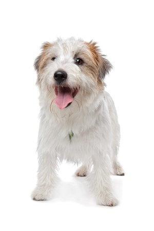 Jack Russel Terrier in front of a white background photo