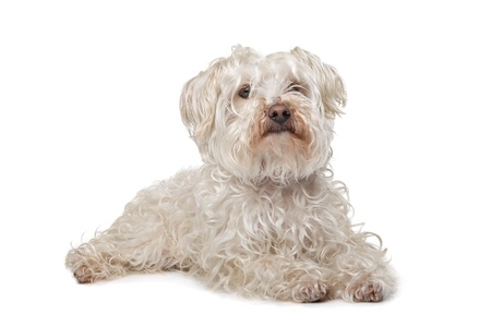 boomer: Little boomer dog in front of a white background