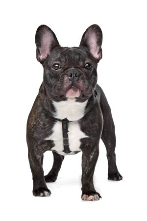 french bulldog: Black and White French Bulldog in front of white