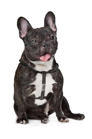 Black and White French Bulldog in front of white photo