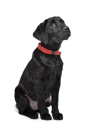 Black Labrador puppy in front of a white background photo
