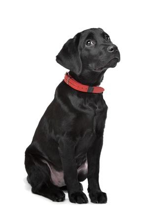 perro labrador: Labrador negro cachorro delante de un fondo blanco Foto de archivo