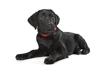 Black Labrador puppy in front of a white background Stock Photo - 13254757