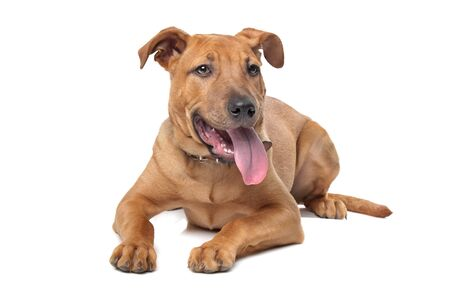 pitbull: mixed breed dog  Stafford Terrier  in front of a white background