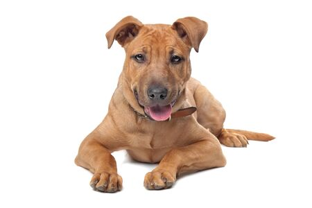 mixed breed dog  Stafford Terrier  in front of a white background photo