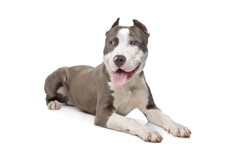 American Stafford with cropped ears in front of a white background