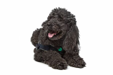 Black Poodle in front of a white background photo