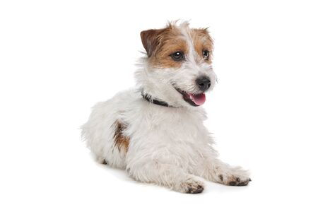 Jack Russel Terrier in front of a white background Stock Photo - 13256064