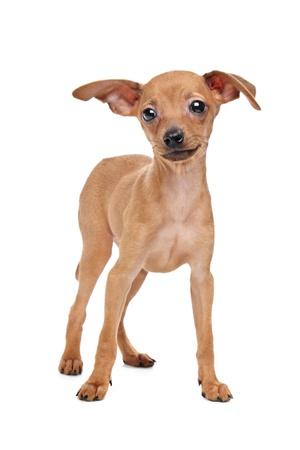 miniature dog: Miniature Pinscher in front of a white background Stock Photo