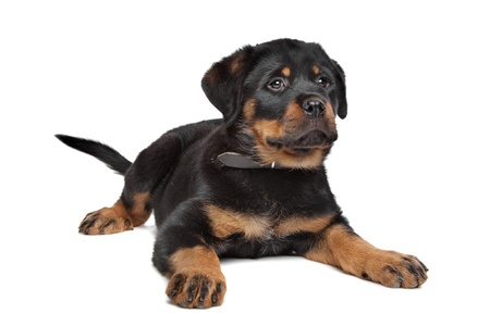 rottweiler: rottweiler puppy in front of a white background Stock Photo