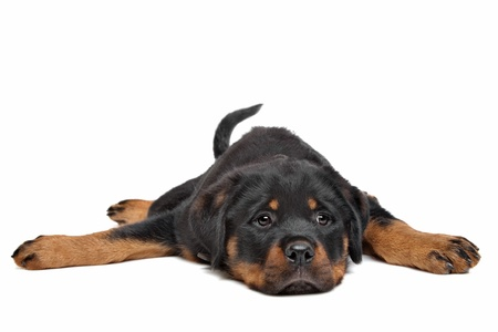 rott: rottweiler cachorro delante de un fondo blanco