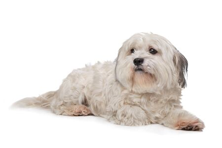 boomer: mixed breed boomer dog in front of a white background Stock Photo