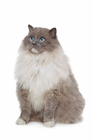 ragdoll: Ragdoll cat in front of a white background Stock Photo