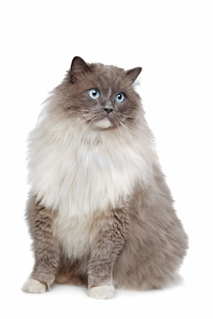 Ragdoll cat in front of a white background Stock Photo - 13256000