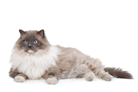 Ragdoll cat in front of a white background Imagens