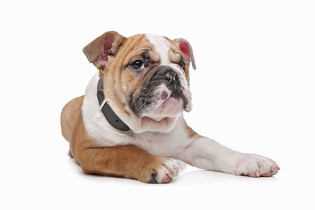 English bulldog puppy in front of a white background Stock Photo - 13256177