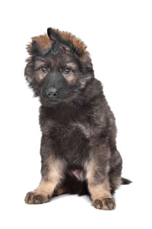 Shepherd puppy in front of a white background Stock Photo - 13255993