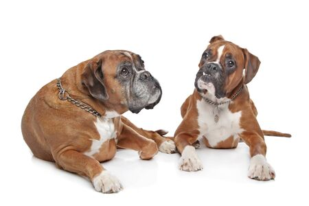 Two plain fawn Boxer dogs in front of a white background