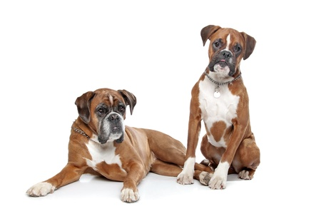 boxer: Two plain fawn Boxer dogs in front of a white background