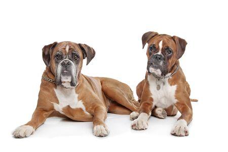 perro boxer: Dos simples perros del boxeador del cervatillo en frente de un fondo blanco