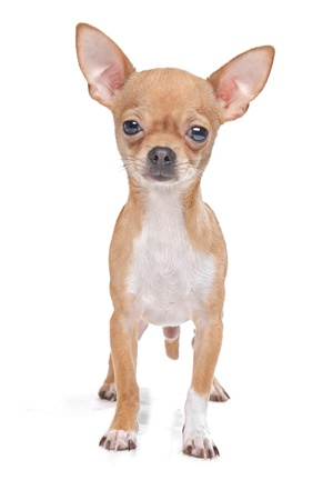 chihuahua dog: Miniature Chihuahua in front of a white background