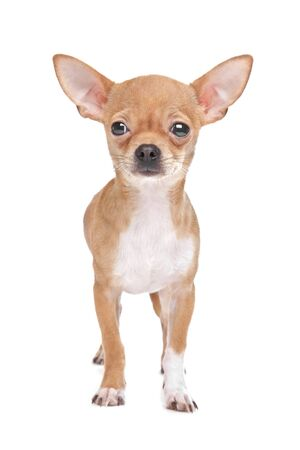 Miniature Chihuahua in front of a white background photo