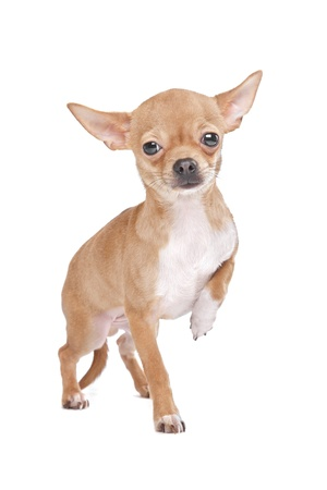 chiwawa: Miniature Chihuahua in front of a white background