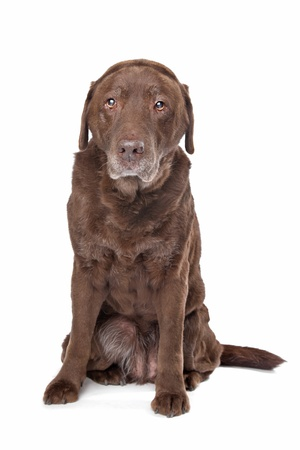 Old sad chocolate Labrador in front of a white background photo