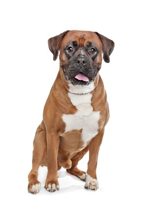 wrinkely: Boxer dog in front of a white background