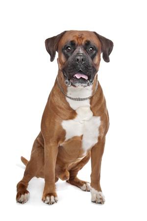 boxer dog: Boxer perro delante de un fondo blanco Foto de archivo