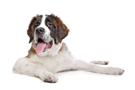 St Bernard puppy in front of a white background Standard-Bild